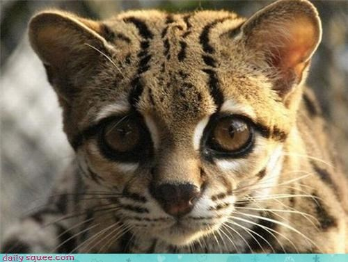 big eyes pun ocelot wild cats squee