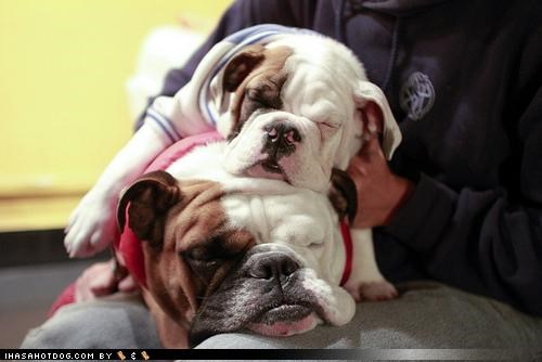 bulldog costume cuddling cute dressed up family lazy love napping puppy sleeping sweet themed goggie week - 4259762176