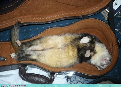 ferret,musical instrument,pet,reader squee,ukelele
