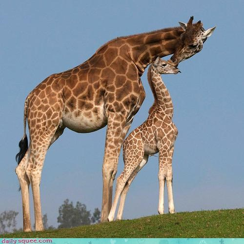 acting like animals agreement baby embarrassed giraffes kissing mom nose public shame - 4260709376