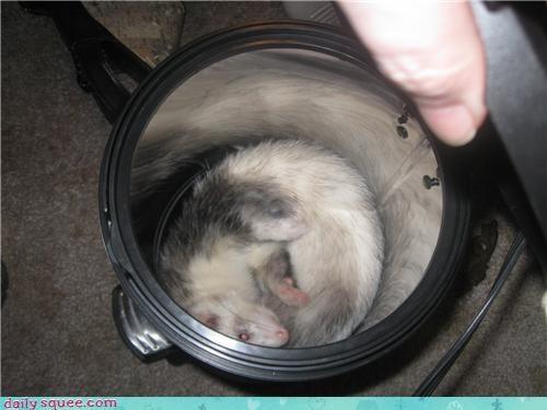 cute ferret pet sleepy - 4262249472