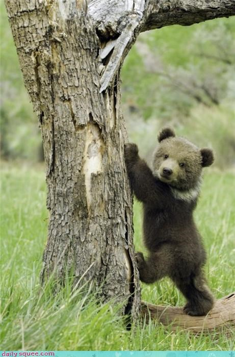 bear bear cub brown bear climbing honey tree - 4262307584