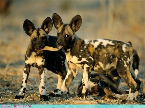african dog cute dogs weirdo whatsitw