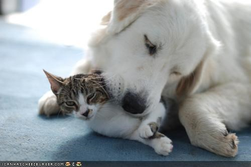 cat ear frustrated gnawing golden retriever hearing kittehs r owr friends noms question shouting - 4262393088