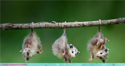 Babies hanging out laundry possums squee tails - 4262583552