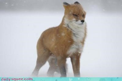 acting like animals complaint fox hair hairdo hunting information letter red fox request snow weather wind - 4263677184