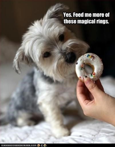 approval,do want,donuts,feed,feeding,magical,more,noms,request,rings,scottish terrier,yes