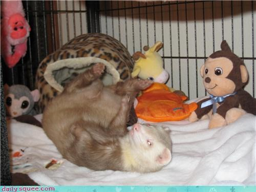blanket,ferret,pet,reader squee,stuffed animals