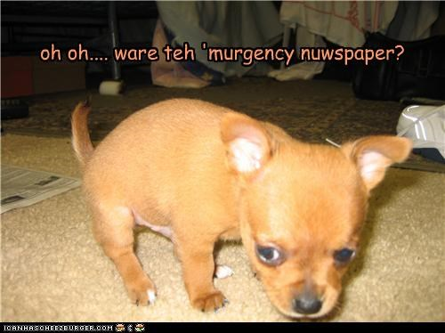 accident chihuahua emergency newspaper panic panicking peeing potty puppy question uh oh