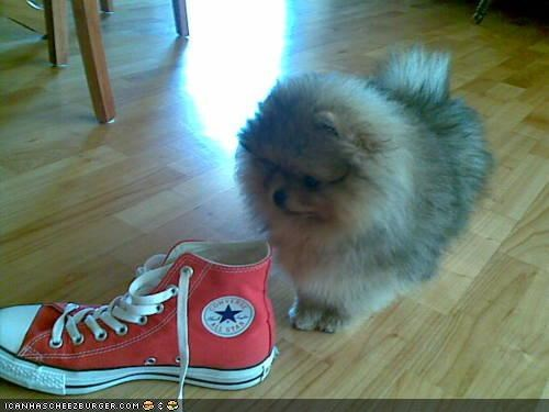 cyoot puppeh ob teh day dislike do not want pew pomeranian puppy shoe smelly