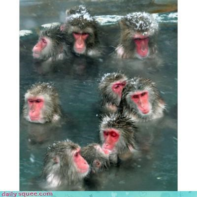 acting like animals best ever hot tub investment macaque macaques monkey monkeying around monkeys relaxing soaking - 4267339520