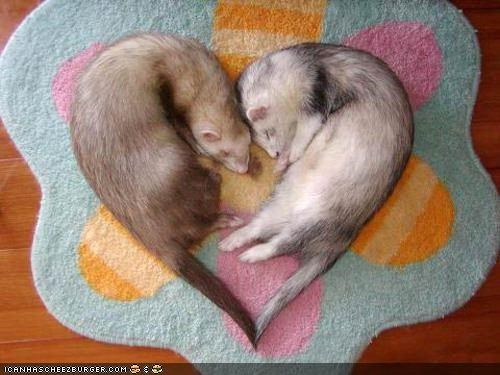 heart nap ferrets squee sleeping in love