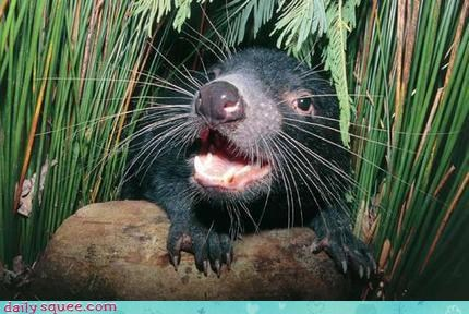 bushes,hiding,smile,surprise,Tasmanian Devil