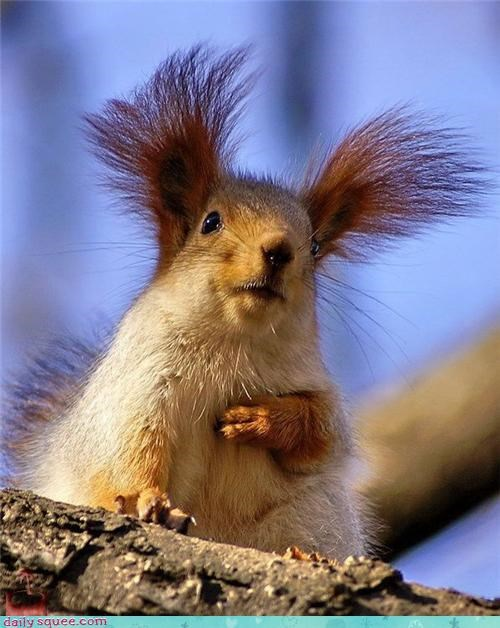 cute ears nerd jokes red squirrel Rufio squirrel - 4268962304