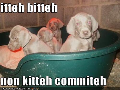committee itteh bitteh comiteh puppy weimaraner weimaraners - 4269024768