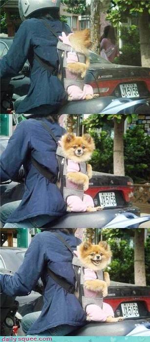 pomeranian puppy - 4269047296