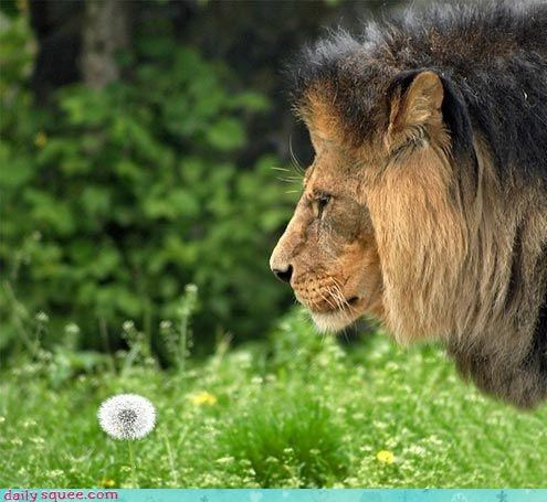 dandelion Flower lion big cats squee mane