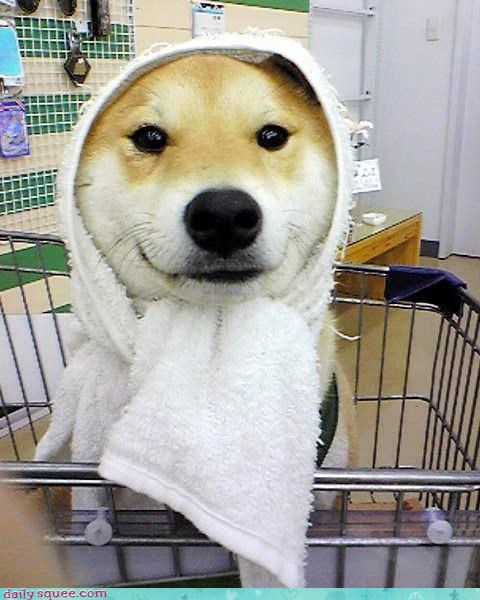 cute dogs puppy shiba inu - 4269566464