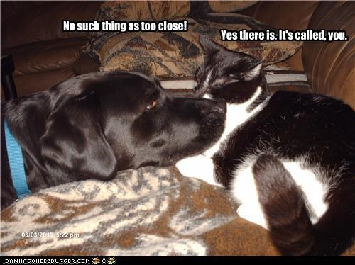 cat close conflict disagree labrador no such thing problem proximity sniffing too you - 4269606144