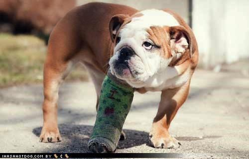bulldog cast excuse explanation fight fighting injury other story the other guy themed goggie week tickling - 4269802496