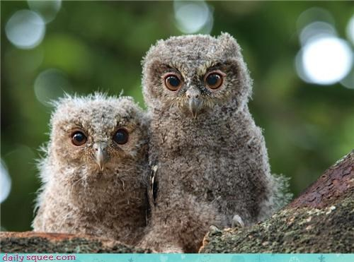 bird cute floof Owl - 4270862592