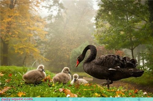 bird squee black swan cygnet Babies mommy - 4271896064