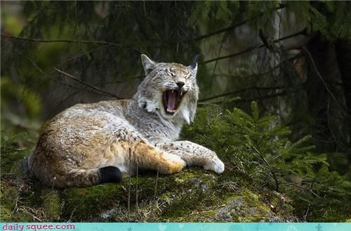 squee,yawn,sleepy,Forest,bobcat
