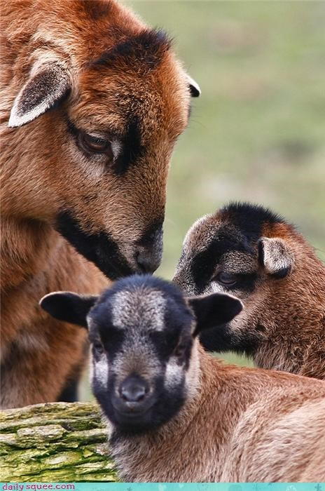 baby farm animal goats goodbye kids mommy squee squee spree - 4271939840