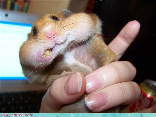 cheeks,hamster,hamsters,mouthful,nomming,pet,reader squee,stuffed