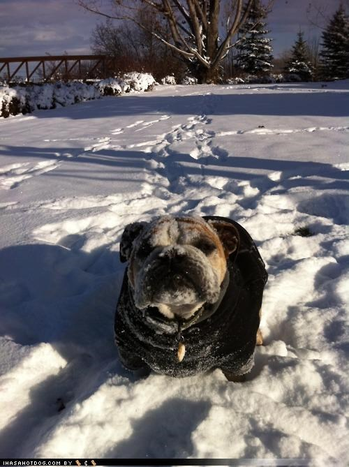 bulldog cool do not want dressed up jacket not Sad snow themed goggie week unhappy unimpressed upset - 4272693504