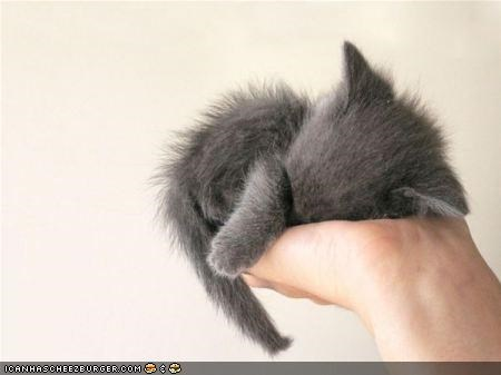 cyoot kitteh of teh day grey kitten palm sleeping tiny - 4273633792