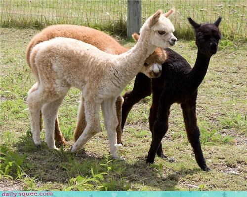 squee,alpaca,Babies,Fluffy,pack,colors