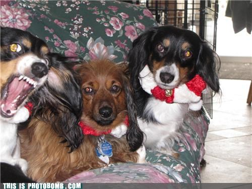 animals attack dachshund dogs fierce photobomb