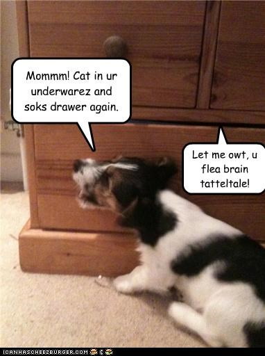 again,cat,drawer,jack russell terrier,mischief,mixed breed,mom,socks,tattletale,telling,underwear