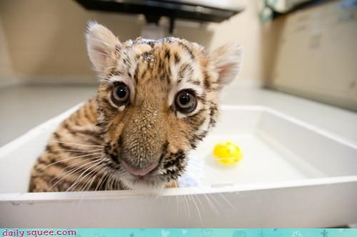 bath time,big cat,tiger,tiger cub,wet