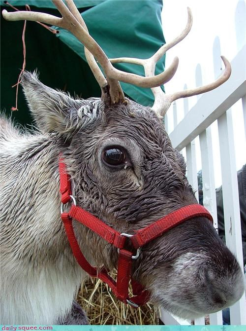 boop cute nose reindeer squee squee spree