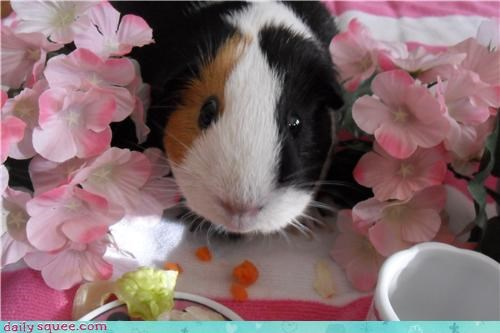 guinea pig nom pet pets - 4280152576