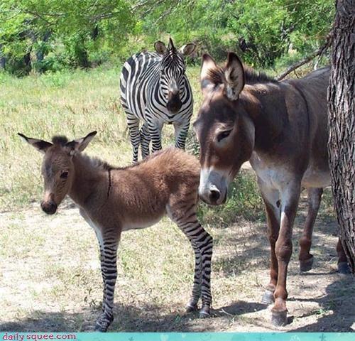 donkey family zebra zonkey - 4280845056
