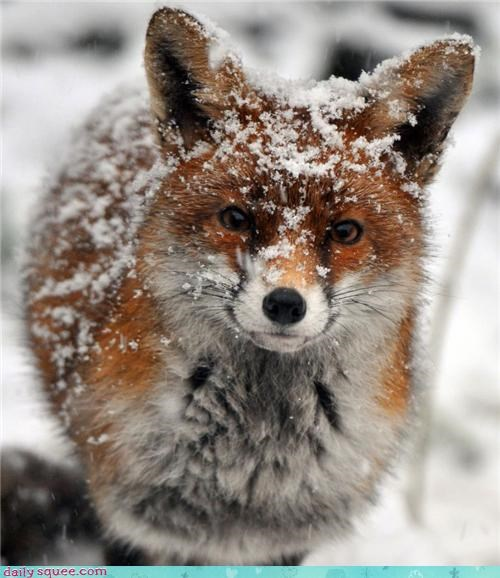 foxes snow fox winter squee frosty - 4281388544