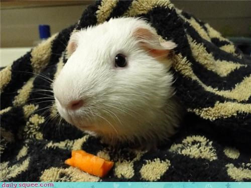 bath time,carrot,guinea pig,pet,reader squee,snack food
