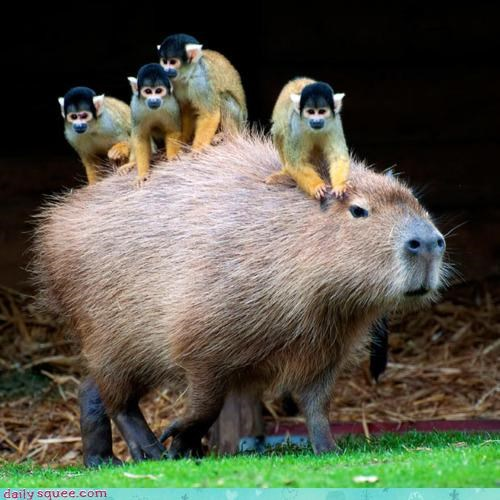 acting like animals angry cabby capybara misinterpretation noms service squirrel monkey squirrel monkeys taxi tip transportation upset - 4282559232