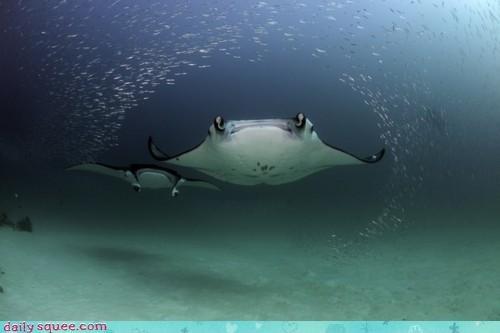acting like animals barricade contract exception fish manta manta ray manta rays mantas none shall pass rule school underwater - 4282565120