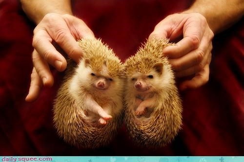 acting like animals,combination,cute,hand,hedgehog,hedgehogs,ICWUDT,poke,poker,prickly,pun,two,two of a kind