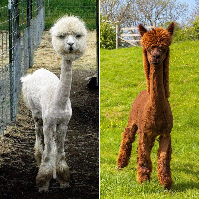 a funny list of shaved alpaca