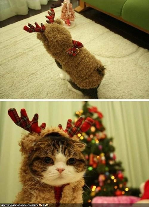 christmas,costume,cyoot kitteh of teh day,dressed up,holidays,outfit,reindeer