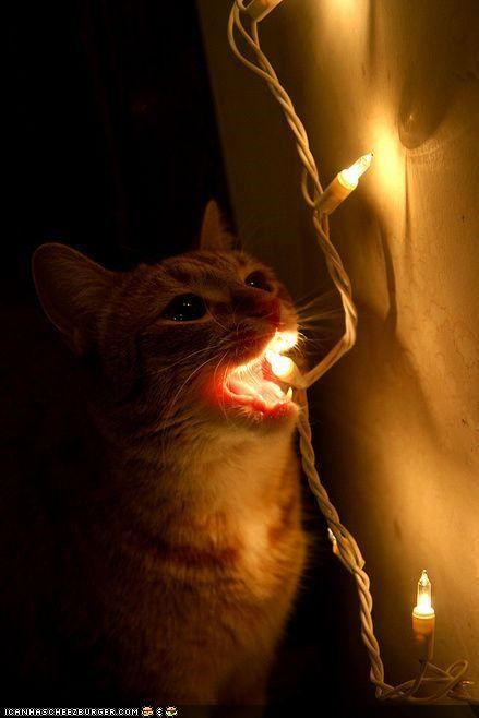bite,christmas,christmas lights,cyoot kitteh of teh day,glow,holidays,lights,nom