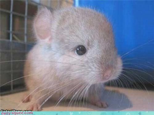 baby chinchilla cute tiny - 4282817792