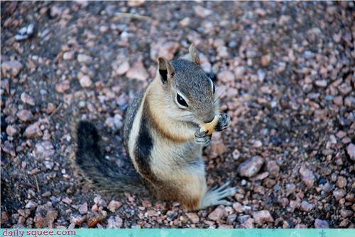 chipmunk cute ground squirrel noms - 4282875904