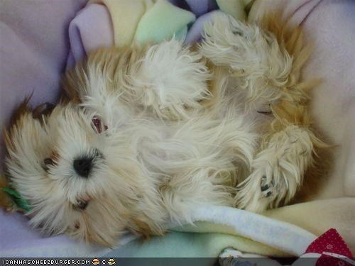 cyoot puppeh ob teh day oh no puppy tickle tickles tickling whatbreed - 4283042048