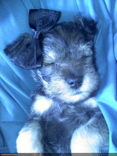 beauty,beauty sleep,bow,cyoot puppeh ob teh day,miniature,pretty,schnauzer,sleep,sleeping